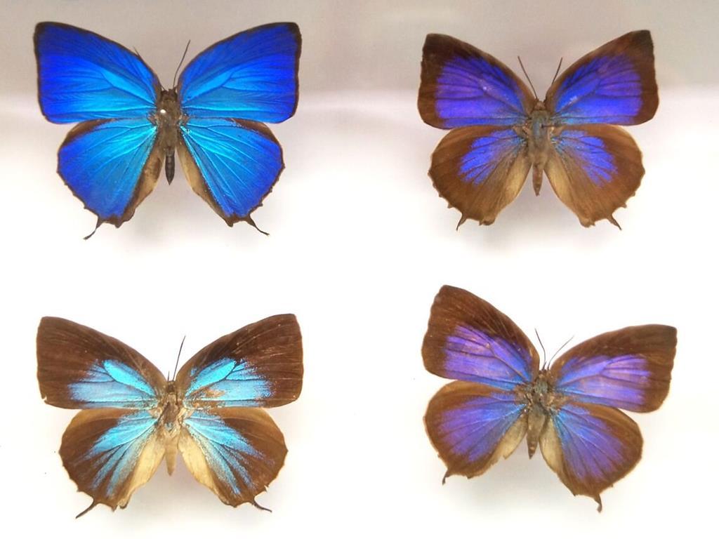 Piękne okazy motyli z muzeum motyli we Władysławowie